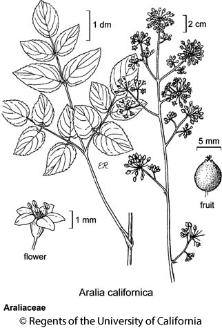 botanical illustration including Aralia californica