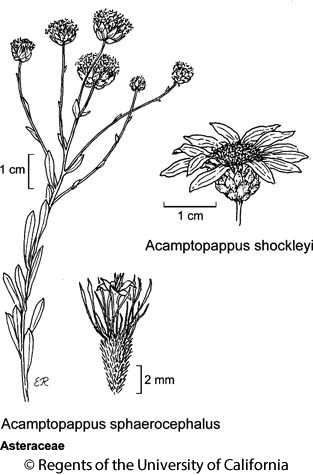 botanical illustration including Acamptopappus sphaerocephalus