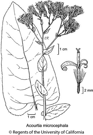 botanical illustration including Acourtia microcephala