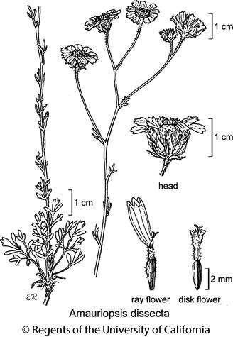 botanical illustration including Amauriopsis dissecta