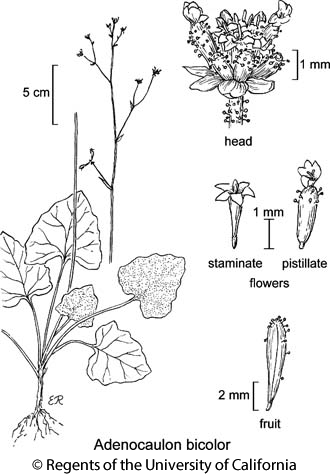 botanical illustration including Adenocaulon bicolor