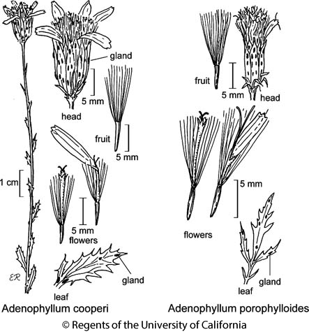 botanical illustration including Adenophyllum porophylloides