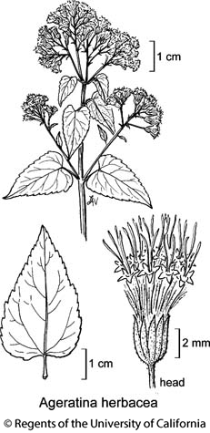botanical illustration including Ageratina herbacea