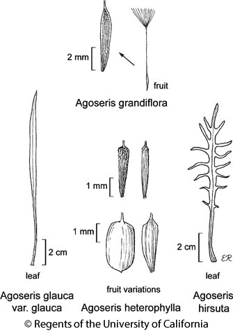 botanical illustration including Agoseris heterophylla