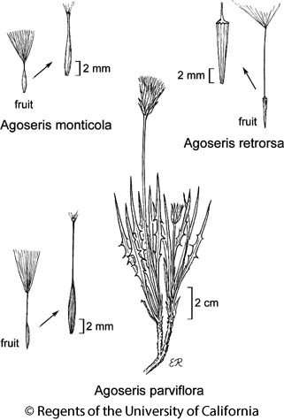 botanical illustration including Agoseris monticola