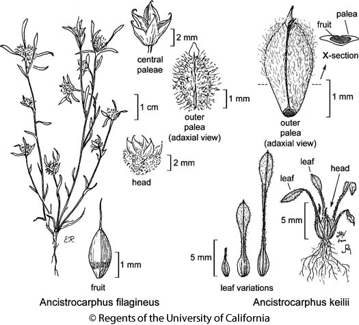 botanical illustration including Ancistrocarphus filagineus