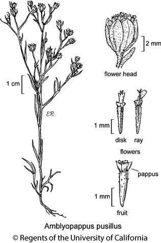 botanical illustration including Amblyopappus pusillus