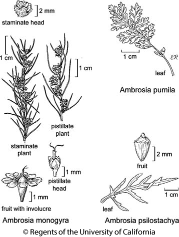 botanical illustration including Ambrosia psilostachya