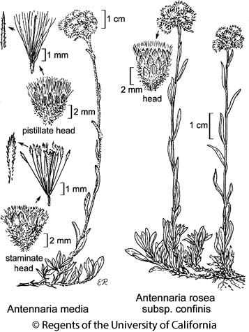 botanical illustration including Antennaria media