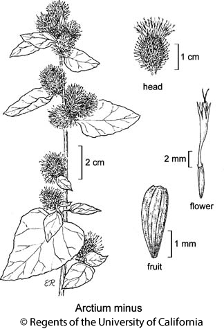 botanical illustration including Arctium minus