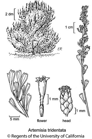 botanical illustration including Artemisia tridentata