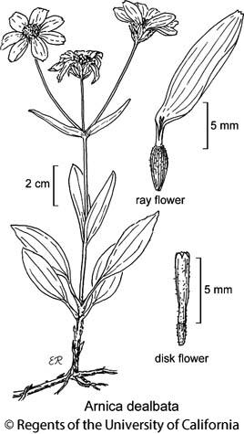 botanical illustration including Arnica dealbata