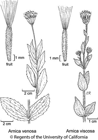 botanical illustration including Arnica venosa