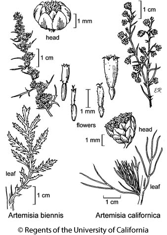botanical illustration including Artemisia californica