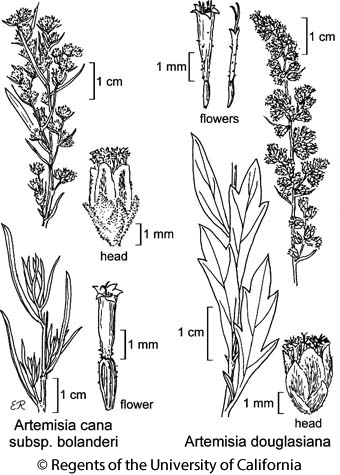 botanical illustration including Artemisia douglasiana