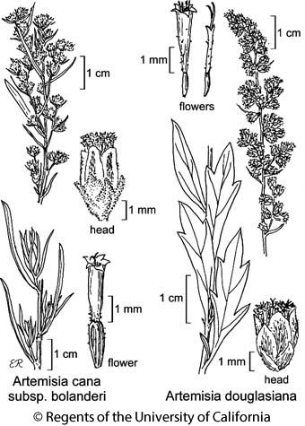 botanical illustration including Artemisia cana subsp. bolanderi