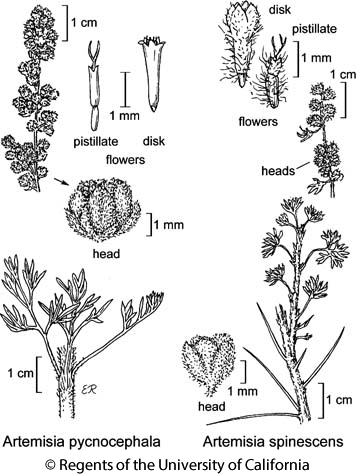 botanical illustration including Artemisia pycnocephala