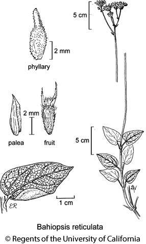 botanical illustration including Bahiopsis reticulata