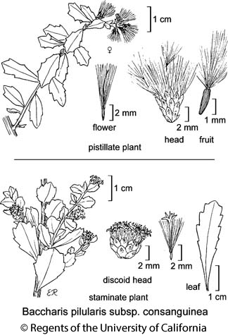 botanical illustration including Baccharis pilularis subsp. consanguinea