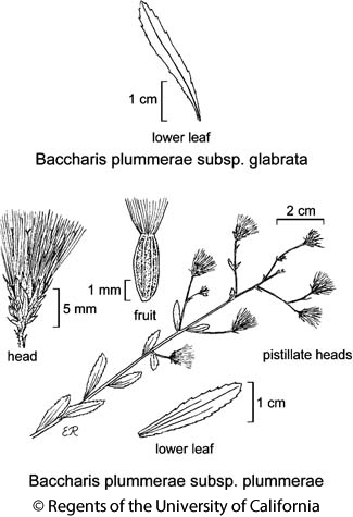 botanical illustration including Baccharis plummerae subsp. glabrata