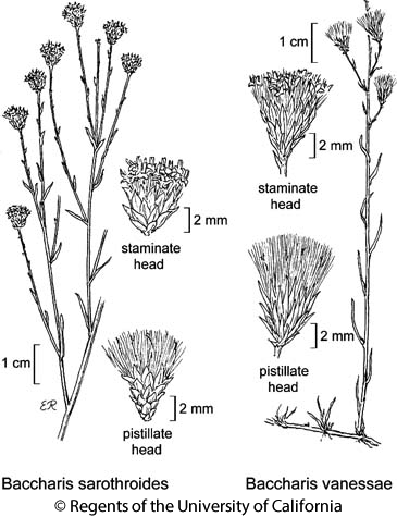 botanical illustration including Baccharis sarothroides