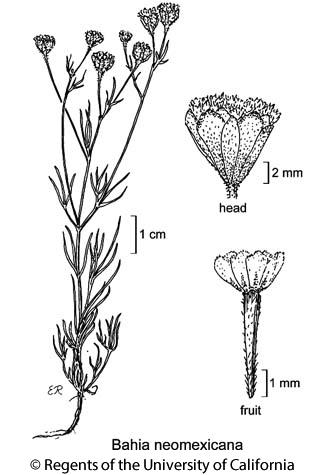 botanical illustration including Bahia neomexicana