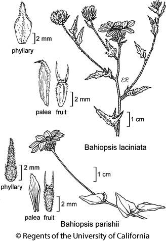 botanical illustration including Bahiopsis parishii