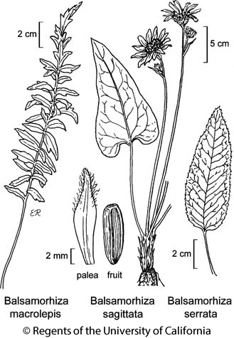 botanical illustration including Balsamorhiza macrolepis