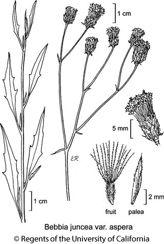 botanical illustration including Bebbia juncea var. aspera