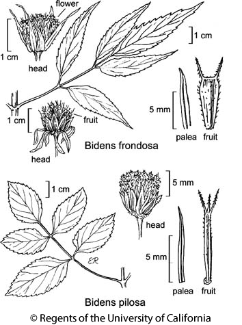 botanical illustration including Bidens pilosa