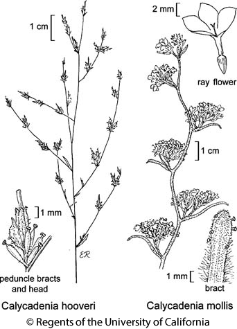 botanical illustration including Calycadenia hooveri