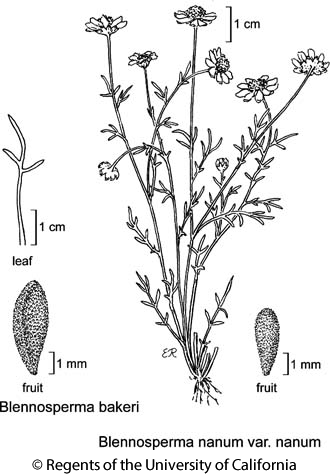 botanical illustration including Blennosperma bakeri