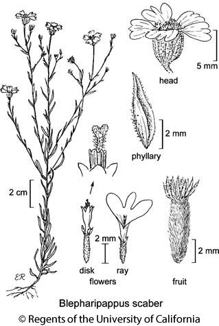 botanical illustration including Blepharipappus scaber
