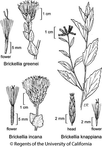 botanical illustration including Brickellia incana