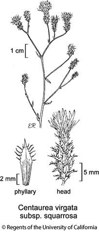 botanical illustration including Centaurea virgata subsp. squarrosa
