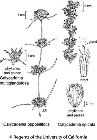 botanical illustration including Calycadenia oppositifolia