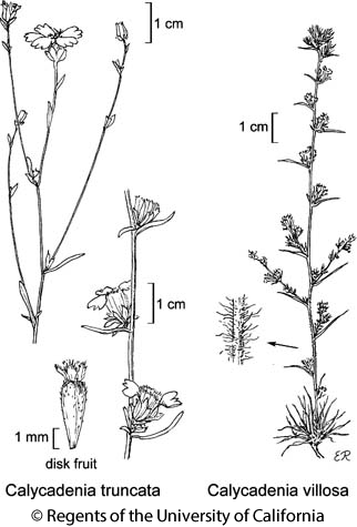 botanical illustration including Calycadenia villosa