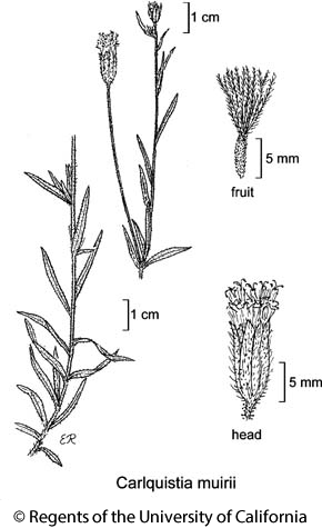botanical illustration including Carlquistia muirii