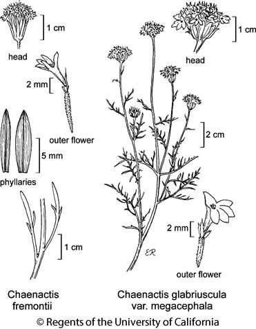 botanical illustration including Chaenactis fremontii