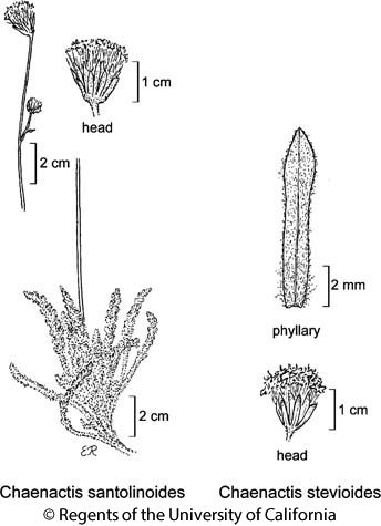 botanical illustration including Chaenactis stevioides