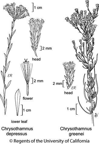 botanical illustration including Chrysothamnus depressus