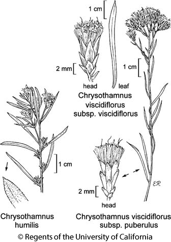botanical illustration including Chrysothamnus viscidiflorus subsp. viscidiflorus