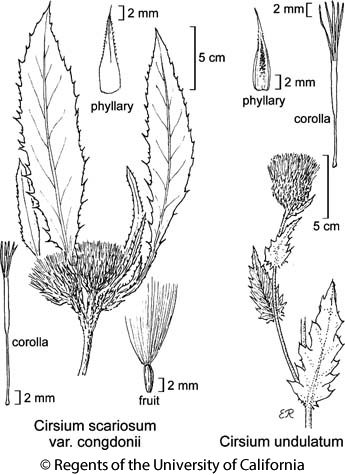 botanical illustration including Cirsium undulatum