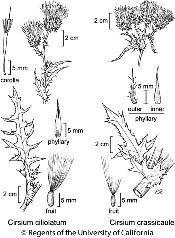 botanical illustration including Cirsium crassicaule