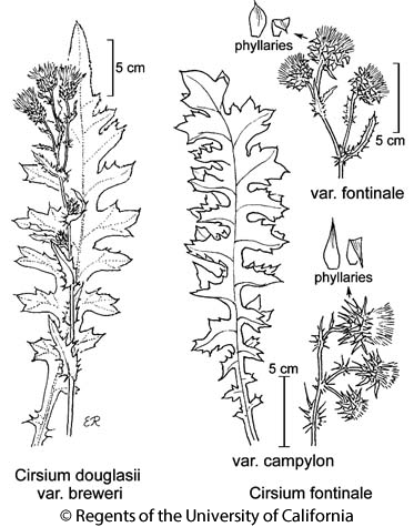 botanical illustration including Cirsium fontinale var. fontinale