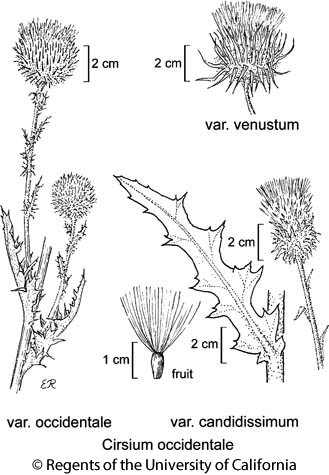 botanical illustration including Cirsium occidentale var. candidissimum