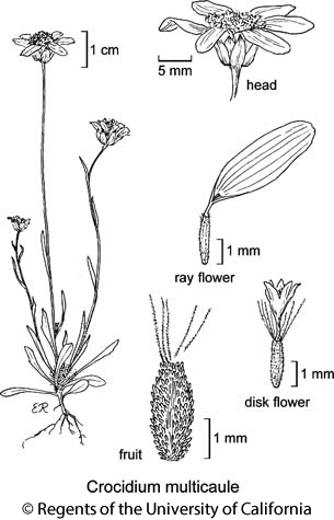 botanical illustration including Crocidium multicaule