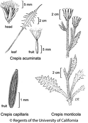 botanical illustration including Crepis acuminata