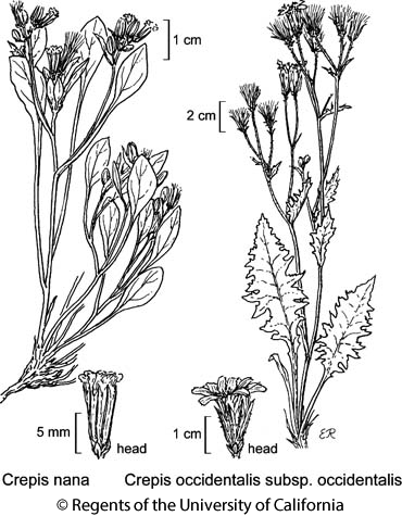 botanical illustration including Crepis occidentalis subsp. occidentalis