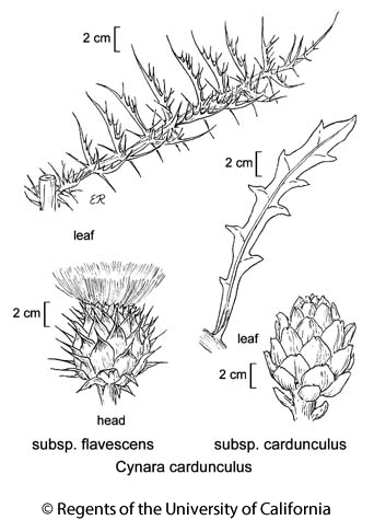 botanical illustration including Cynara cardunculus subsp. cardunculus